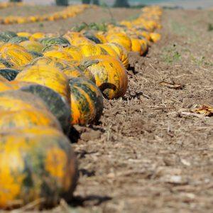 Ölkürbise auf einem Acker in einer Reihe